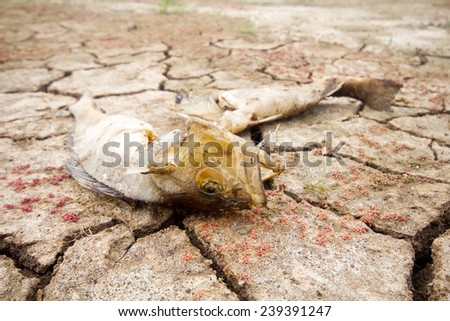 dead fish drought lake  heat - stock photo