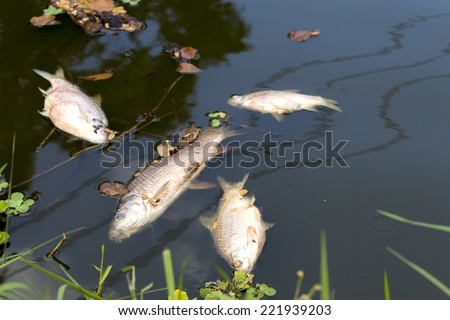 dead fish floated in  the river, water pollution - stock photo