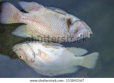 dead fish in polluted pond, ecological disaster - stock photo