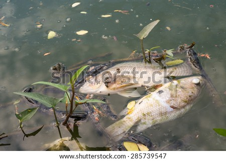 dead fish in polluted water, ecological disaster - stock photo