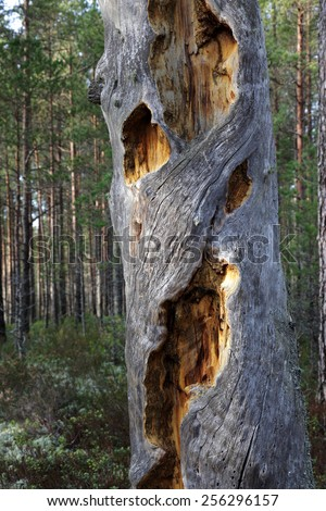 Dead gray pine-tree trunk, holes covered with dry yellow resin. Photographed in Nova, Estonia, Europe.  - stock photo