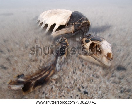 dead green turtle skeleton with skull - stock photo