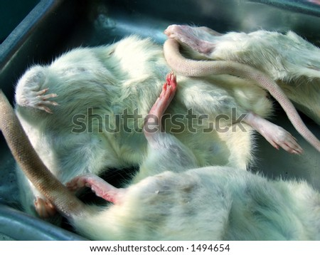 dead laboratory rats and mouses - stock photo