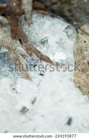 Dead leaves frozen in ice - stock photo