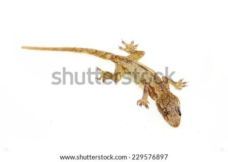 dead lizard on white background - stock photo
