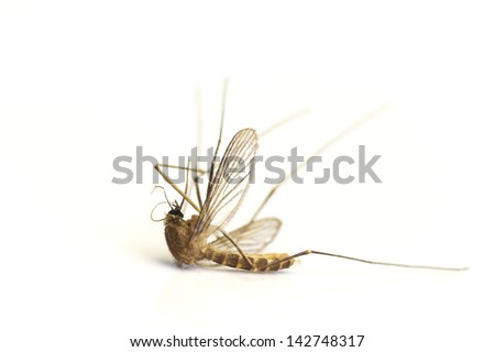 Dead mosquito isolated on white - stock photo