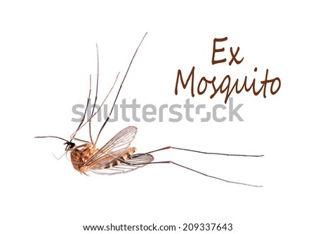 Dead mosquito macro. White background. Summer problem, disease carrier. Note ordinary mosquito and not Tiger Mosquito. - stock photo