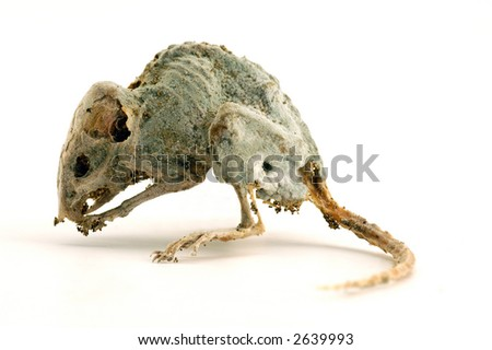 Dead mouse 2 - stock photo