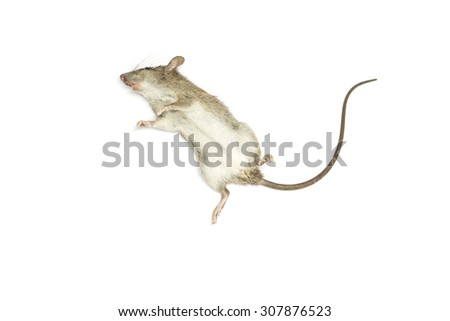 Dead mouse with feet to the sky on white background for die animal concept - stock photo
