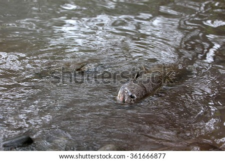 dead salmon fish - stock photo