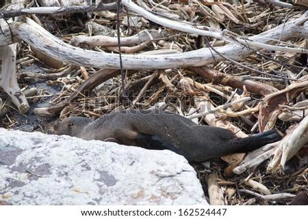 Dead seals at Tasman Sea,South island, New Zealand - stock photo
