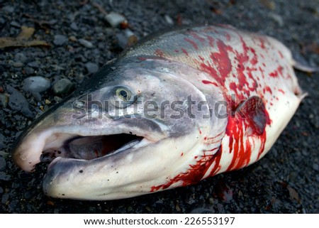 Dead silver salmon with blood on its body laying on gravel ground with mouth wide open in close-up taken in Resurrection Bay, Seward, Alaska - stock photo