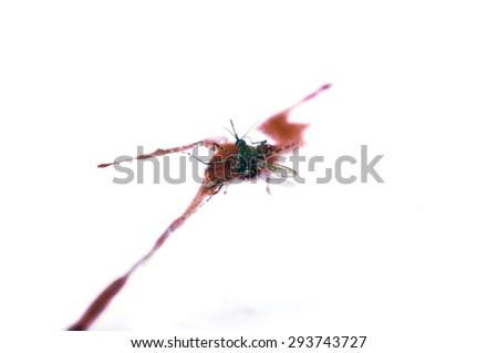Dead the mosquito on human blood. isolated - stock photo