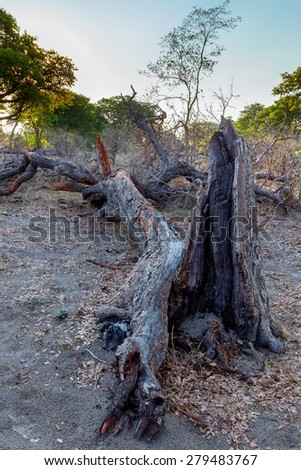 dead tree in national park nambwa on Caprivi Strip Namibia - stock photo