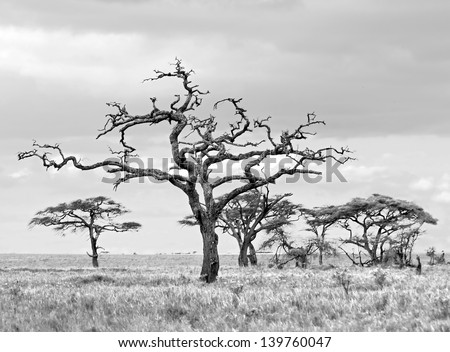Dead tree in Serengeti National Park - Tanzania, Africa (black and white) - stock photo