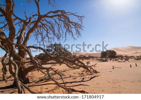 dead tree in the lonesome, dry namibian desert, Naukluft Park, Namibia, Africa - stock photo