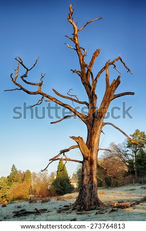 Dead tree on a frosty morning. - stock photo