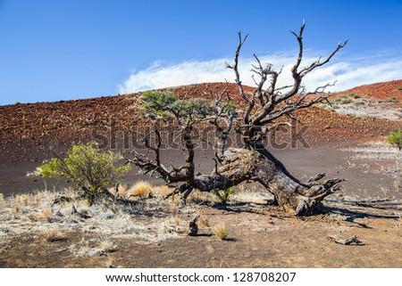 Dead tree on Mauna Kea mountain, Big Island, Hawaii - stock photo