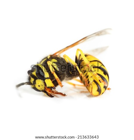 Dead wasp isolated over white background. - stock photo