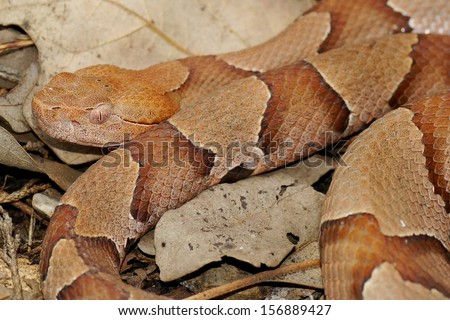 Deadly pit viper snake - the Copperhead Snake, Agkistrodon contortrix phaeogaster  - stock photo
