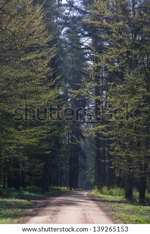 Deciduous stand of Bialowieza Forest at sunny springtime morning and ground road leading inside against sunlight - stock photo