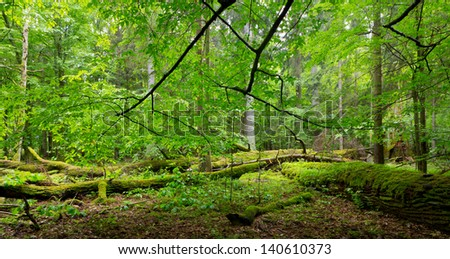 Deciduous stand of Bialowieza Forest in springtime with partly dead broken oak and hornbeam branch over - stock photo