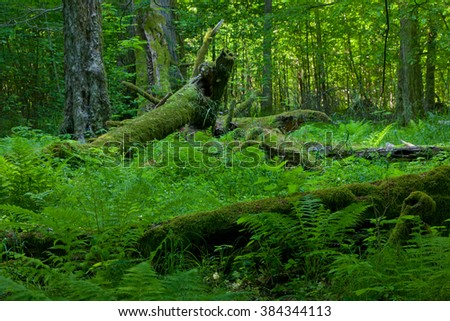 Deciduous stand of Bialowieza Forest in summer with broken trees in background partly declined,Bialowieza Forest,Poland,Europe - stock photo