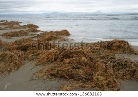 Decomposing seaweed on a sandy beach after a storm - stock photo