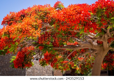 Decoration tree. Canary islands, Maspalomas. Spain. - stock photo