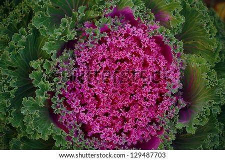Decorative cabbage. Garden plant. Decorative vegetable. Vegetable plant. Beautiful vegetable. - stock photo