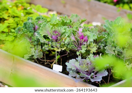 Decorative cabbage seedlings planted in a garden - stock photo
