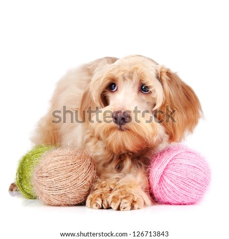 Decorative dog. Puppy of the Petersburg orchid on a white background - stock photo