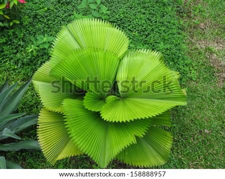 Decorative palm tree in the Amazon rain forest, Brazil - stock photo