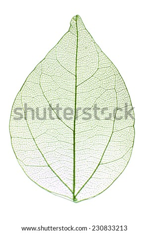 Decorative skeleton leaf isolated on white - stock photo
