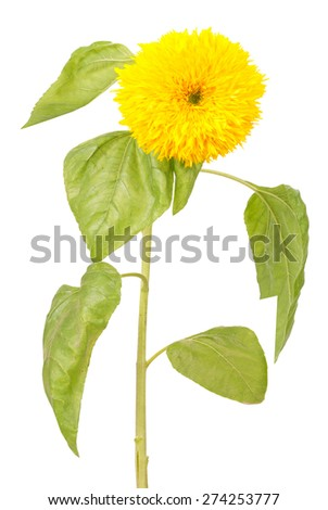 Decorative sunflower with leaf isolated on white background - stock photo