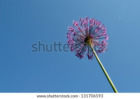 Decorative violet garden plant closeup on background of blue sky. - stock photo