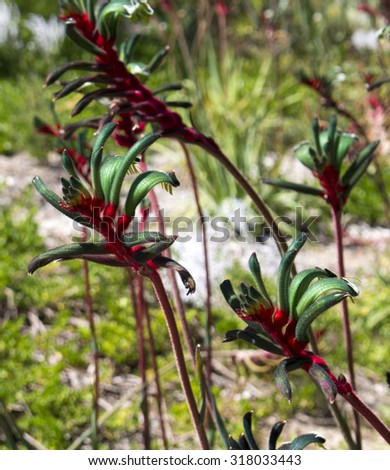 Decorative West Australian wildflower Red Kangaroo Paw anigozanthus manglesii blooming in full splendour in  King's Park Perth Western Australia in early spring  is a splendid tourist attraction. - stock photo