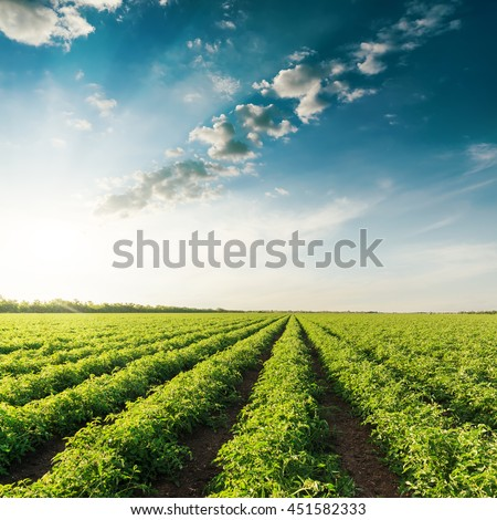 deep blue sky on sunset and field with green tomatoes - stock photo