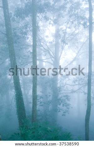 deep fog in natural woodland. pine tree forest. - stock photo