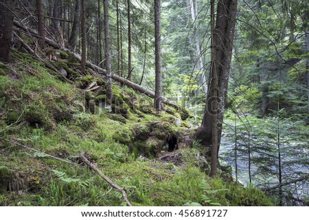 Deep moss forest trees. Nature green wood sunlight backgrounds. - stock photo