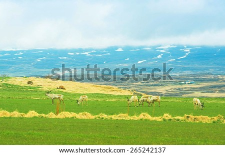 Deep on pasture in Iceland landscape - stock photo