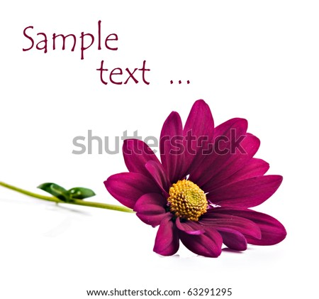 Deep pink chrysanthemum flowers on a pure white background with space for text - stock photo