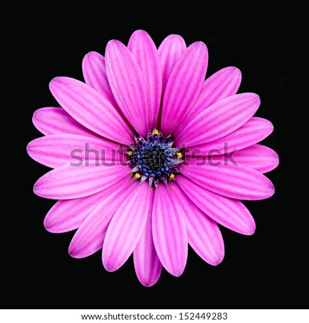 Deep Pink Daisy Isolated - stock photo
