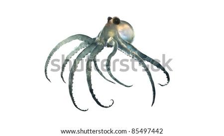 deep sea octopod isolated on white - stock photo