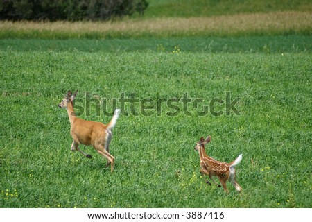 Deer and fawn running in a green field - stock photo