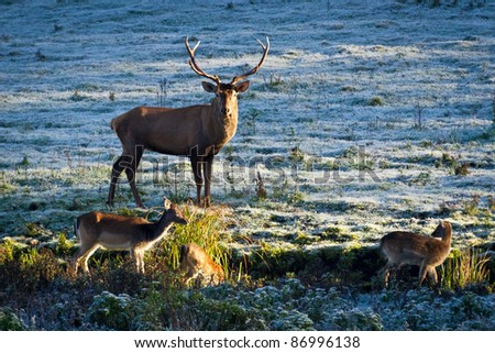 Deer and herd of elk looking at the sunrise on the frozen meadow - stock photo