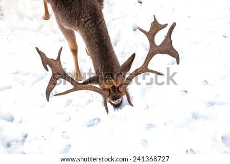 deer antlers in winter - stock photo
