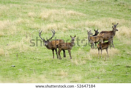 deer at Alpine Red in the Seaward range near Kaikora, New Zealand's South Island - stock photo