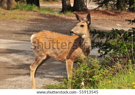 deer, banff national park, canadian rockies - stock photo
