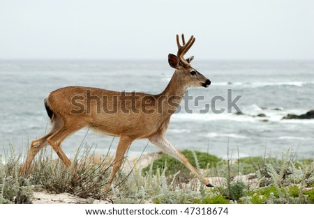 Deer by Ocean - stock photo